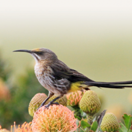Cape sugarbird (Promerops cafer) Kapsukkerfugl