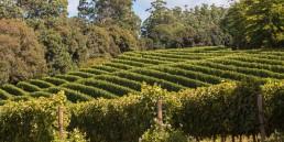 Sauvignon Blanc at Sutherland